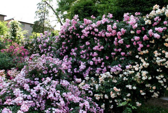 見事なバラ模様 総花(7)