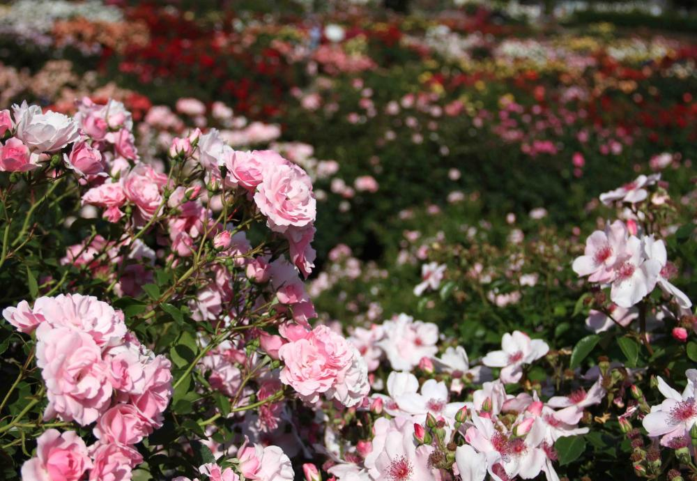 見事なバラ模様 総花(8)