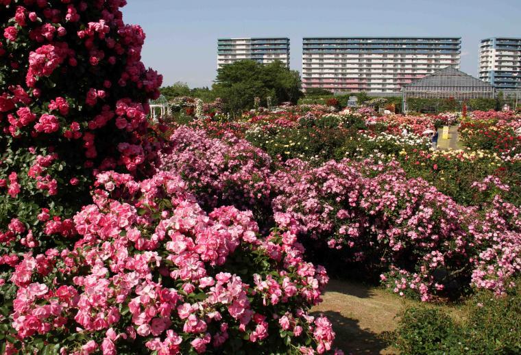 見事なバラ模様 総花(9)