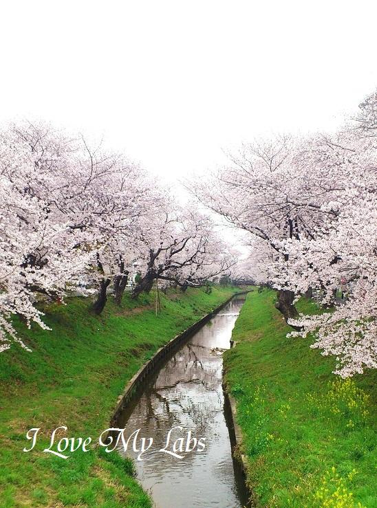 DSC_5973 (3)Sakura 2013 O