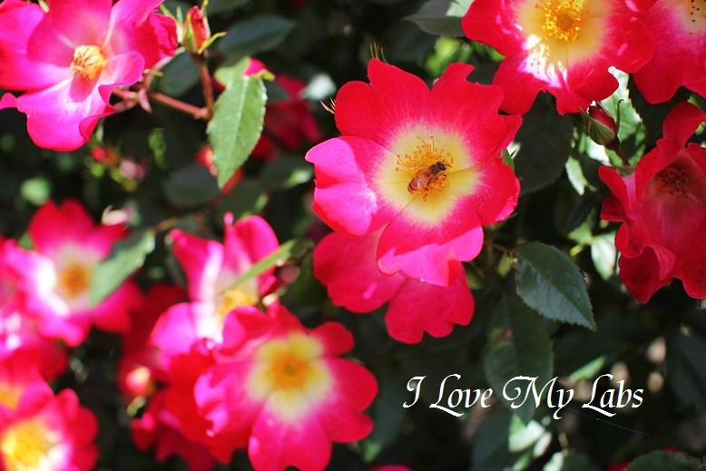 2013IMG_1816 (2)バラ園