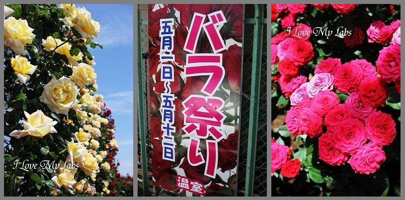 2013IMG_1797 (2)バラ園