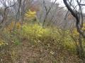 登山道の黄葉