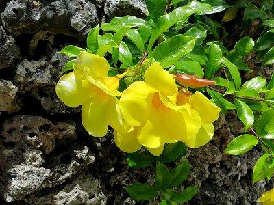 サンゴの石垣に黄色い花が鮮やかdownsize