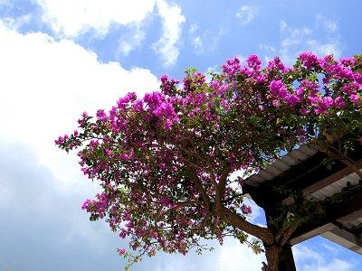 南国の陽射しを浴びて咲くブーゲンビリアdownsize