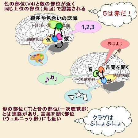 脳のご近所づきあいが共感覚を生む