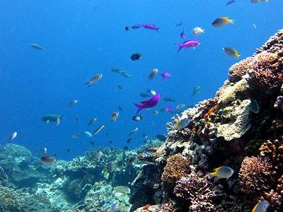 サンゴ礁を乱舞する小魚たちdownsize