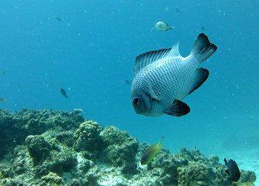 サンゴ礁を泳ぐミツボシクロスズメダイREVdownsize