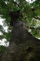 大アカギの木