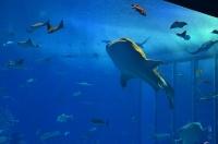 美ら海水族館(ジンベエザメ)