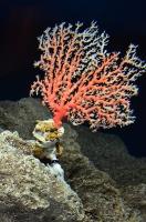 美ら海水族館(宝石サンゴ)