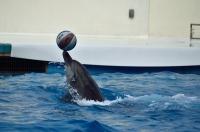 ボールを運ぶイルカ