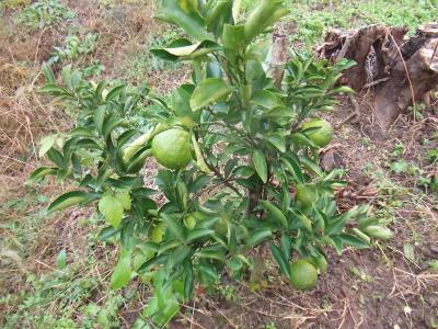 畑の果樹4