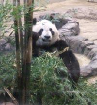 上野動物園_パンダ
