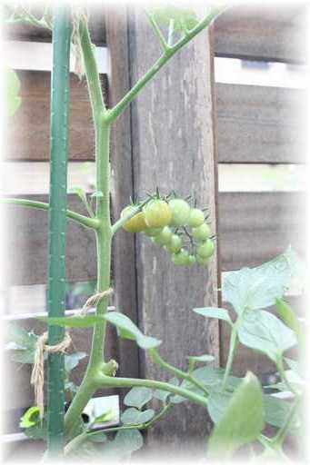 20130623ミニトマト2