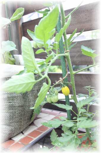 20130623ミニトマト