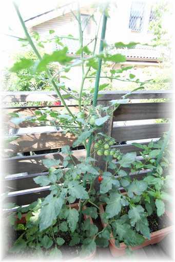 20130629ミニトマト