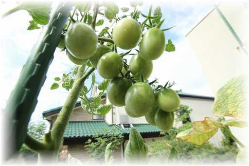 20130803ミニトマト
