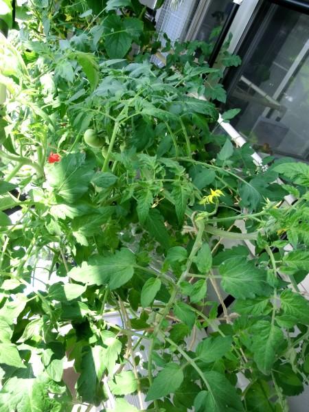 2013_06_29_04大玉トマトミニトマト上から