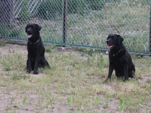 黒いビクター犬