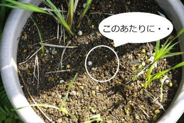 ディケロステンマ イダマイアについて_IGP3071 (4)