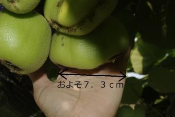 キウイの_IGP3118 (3)