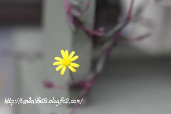 130903_ルビー開花2cov