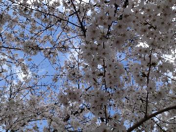 3月26日皇居05(1)
