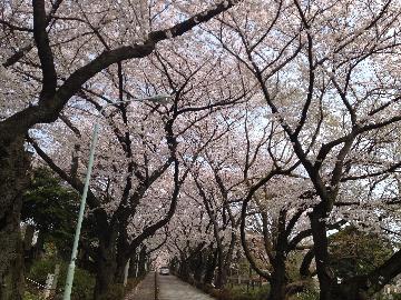 3月28日青山墓地(1)