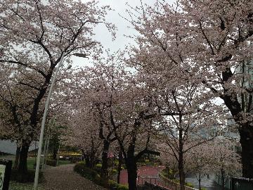 3月31日檜町公園2(1)