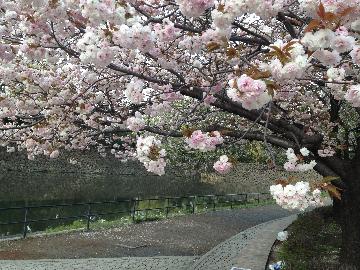 皇居の八重桜7(1)