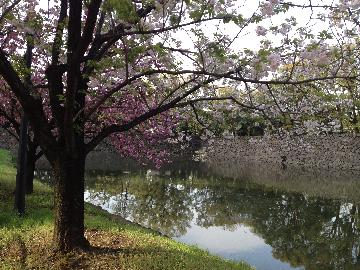 皇居の八重桜09(1)