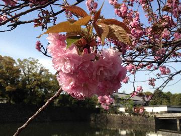 皇居の八重桜12(1)