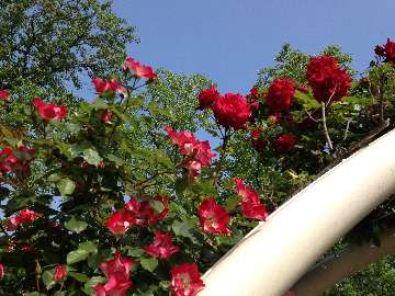 5月14日迎賓館前のバラ5(1)