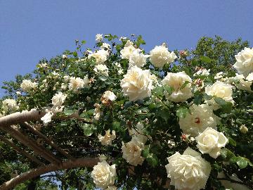 5月14日迎賓館前のバラ(1)