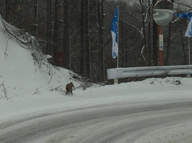 20131212大門峠を越えてキツネ (2)