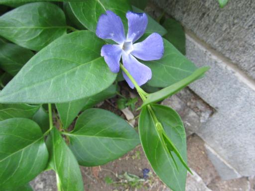 20130505・近所の植物07・ツルニチニチソウ