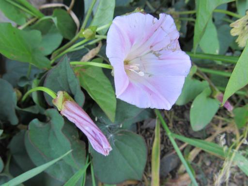 20130505・植物散歩05・コヒルガオ