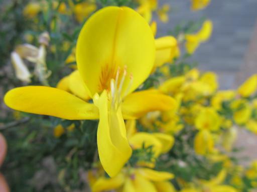 20130505・植物散歩08・エニシダ