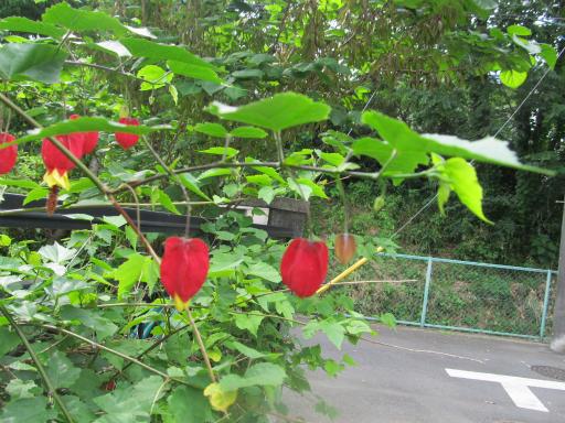 20130526・花4・アブチロン