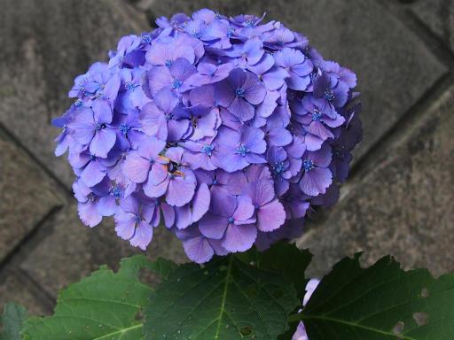 20130622・晴れのち雨03・アジサイ
