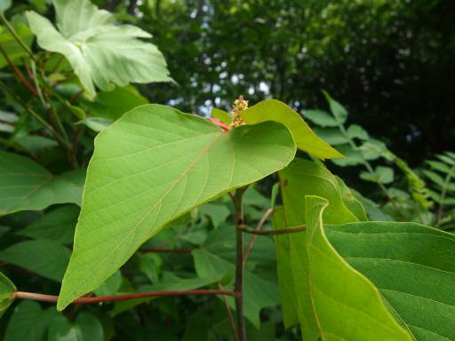 20130707・緑の森2-19・アカメガシワ