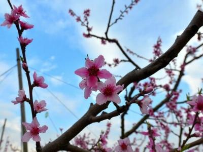 3948655_1912262661_210large桃の花2