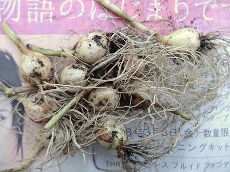 5/12 ワケギ_残す球根