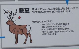 s晩夏の鹿