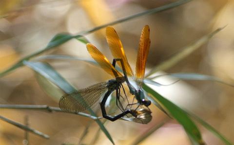 sx-アサヒナ橙色透明翅