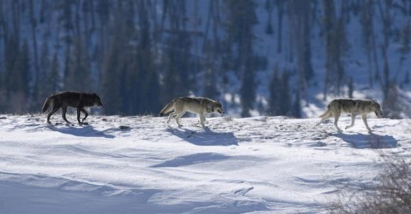 オオカミの旅なimage