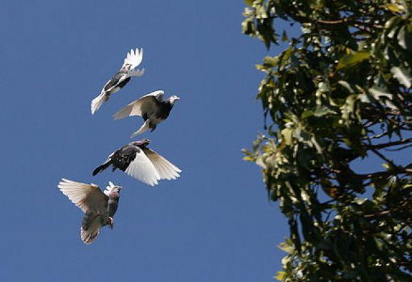 ハトさん飛ぶのimage