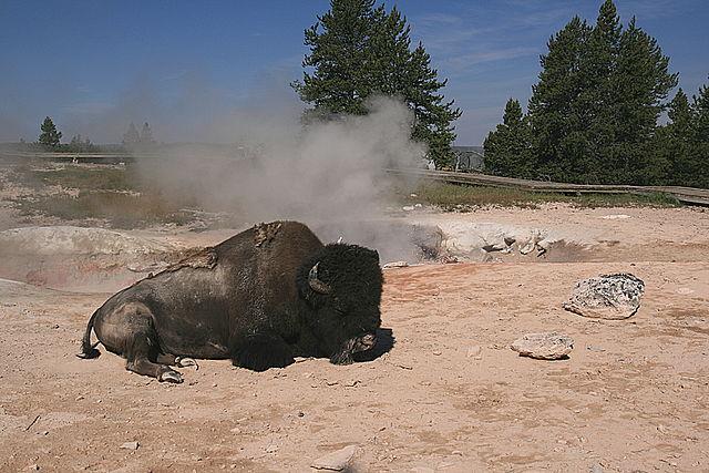 とある温泉の傍でバイソン(イエローストーン)image