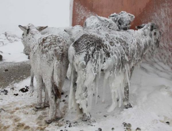 大寒波(トルコのヤギ)image